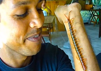 Big Centipede, on of the worst bugs in Hawaii.